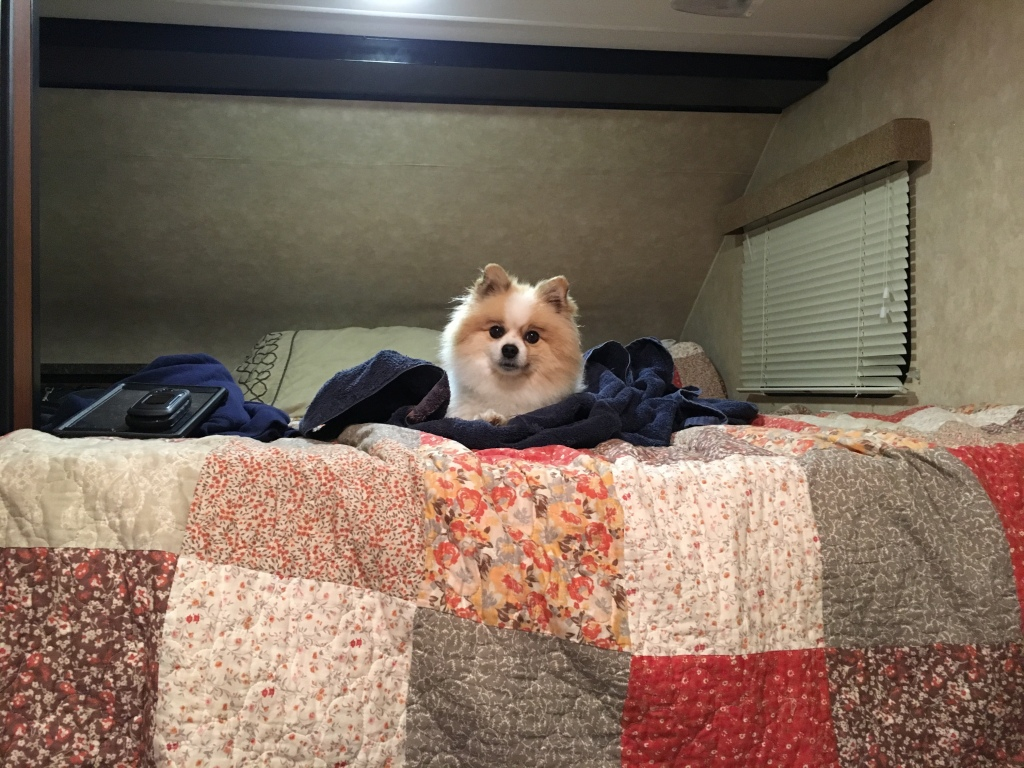 Cute Pomeranian sitting on a pile of blankets on the bed of the camper